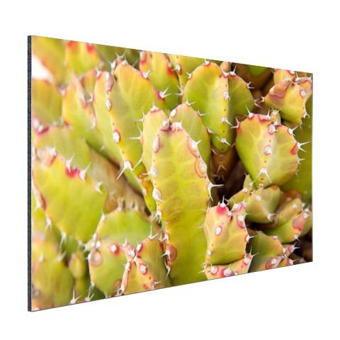 Cactus close-up foto Aluminium