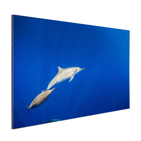 Zwemmende dolfijnen onderwater foto Aluminium