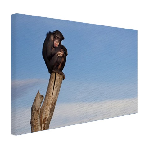 Chimpansee op boomstam Canvas