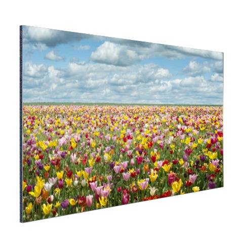 Foto tulpenvelden in Oregon op aluminium geprint