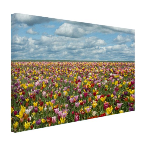 Foto tulpenvelden in Oregon op canvas geprint