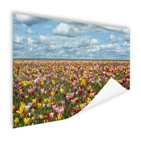 Foto tulpenvelden in Oregon op poster geprint