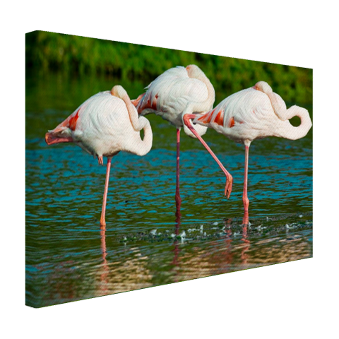 Europese flamingos in het water Canvas