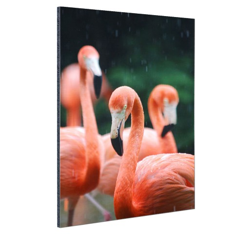 Flamingos in de regen Aluminium