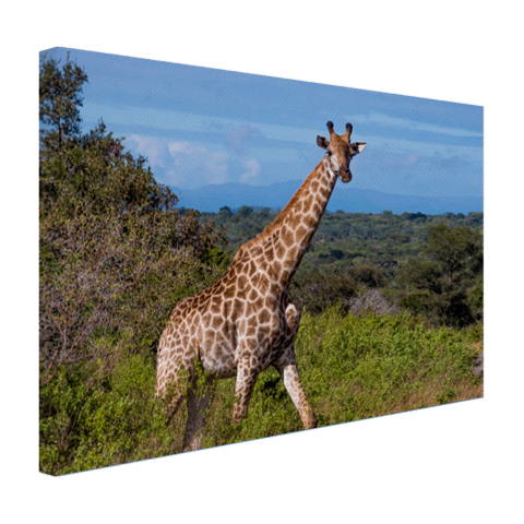 Giraffe in de natuur Canvas