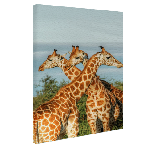 Giraffen in Oeganda Canvas