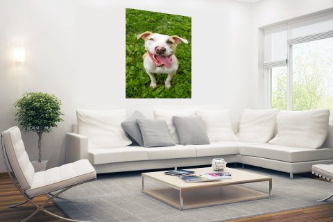 Pitbull in gras Poster