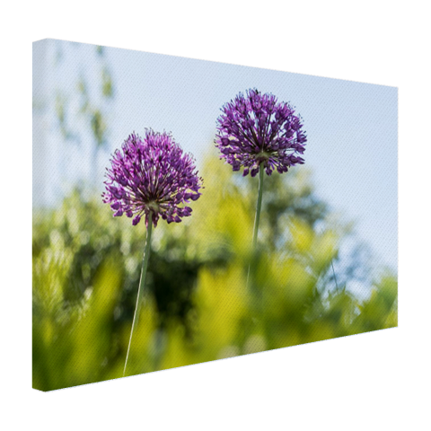 Paarse allium Canvas