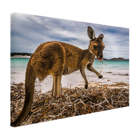 Wallaby op het strand Canvas