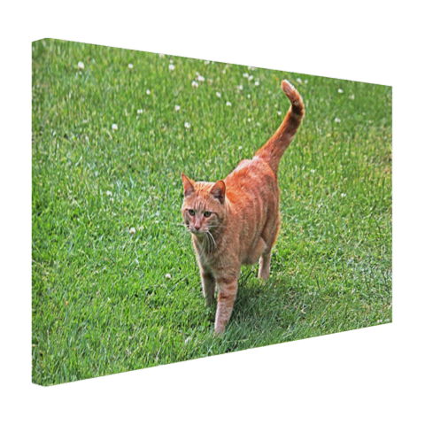 Rode kater in het gras Canvas