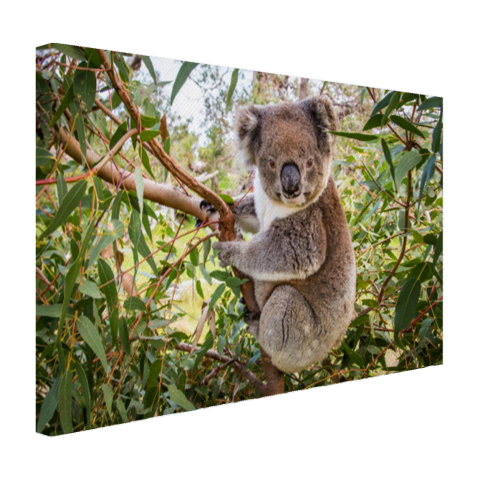 Koala in een boom Canvas