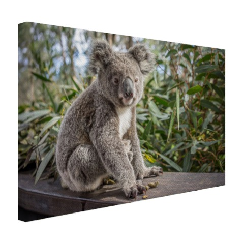 Zittende koala in Australie Canvas