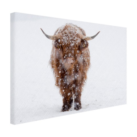 Highland in de sneeuw Canvas