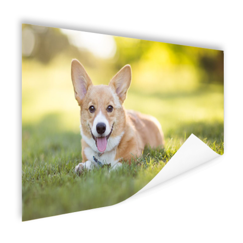 Welsh Corgi puppy Poster
