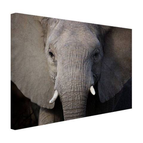 Close-up van olifant Canvas