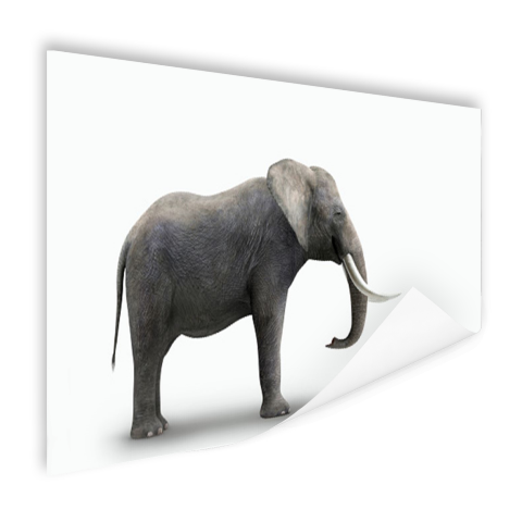 Olifant op witte achtergrond Poster
