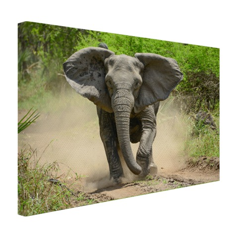 Rennende olifant Canvas