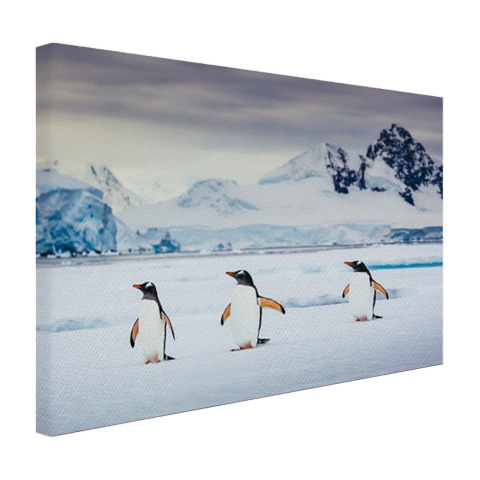 Drie pinguins fotoafdruk Canvas