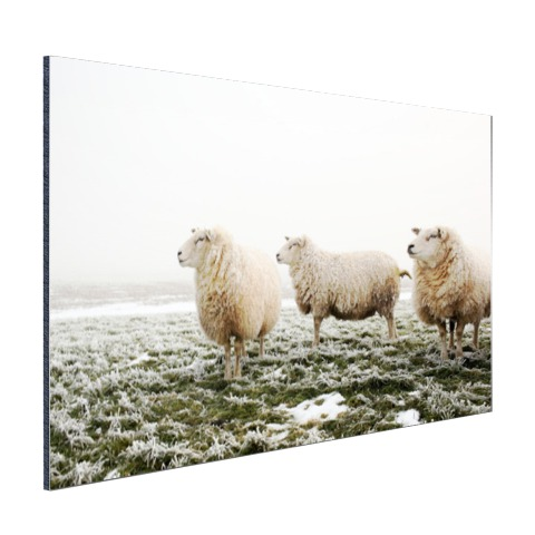 Drie schapen in de winter Aluminium