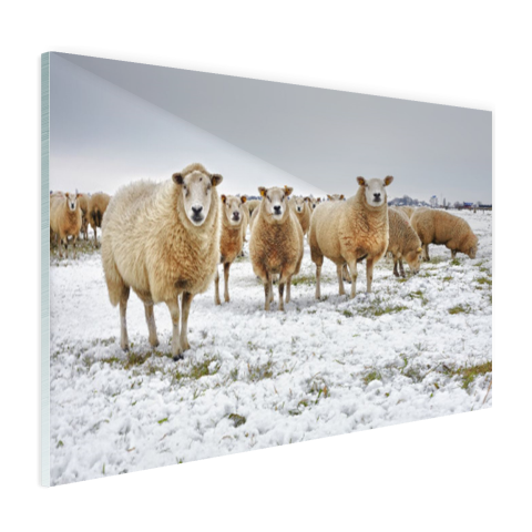 Schapen in een winterlandschap Glas