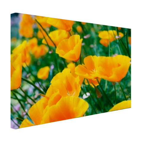 Oranje papavers Canvas