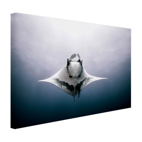 Onderaanzicht mantarog in de oceaan Canvas