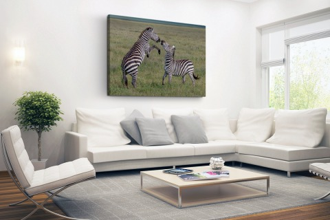 Spelende zebras Canvas