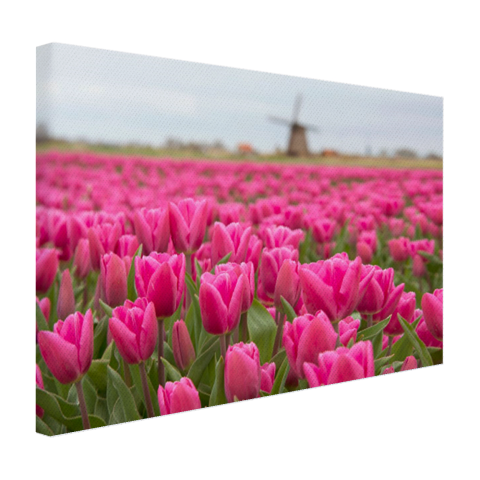 Roze tulpen en windmolen Canvas