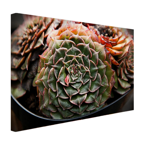 Succulente plant close-up Canvas