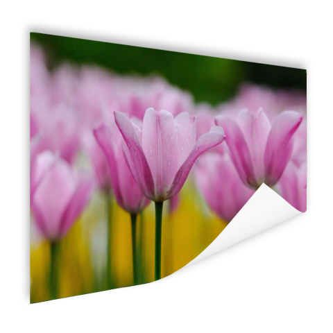 Tulpenbloesems Poster
